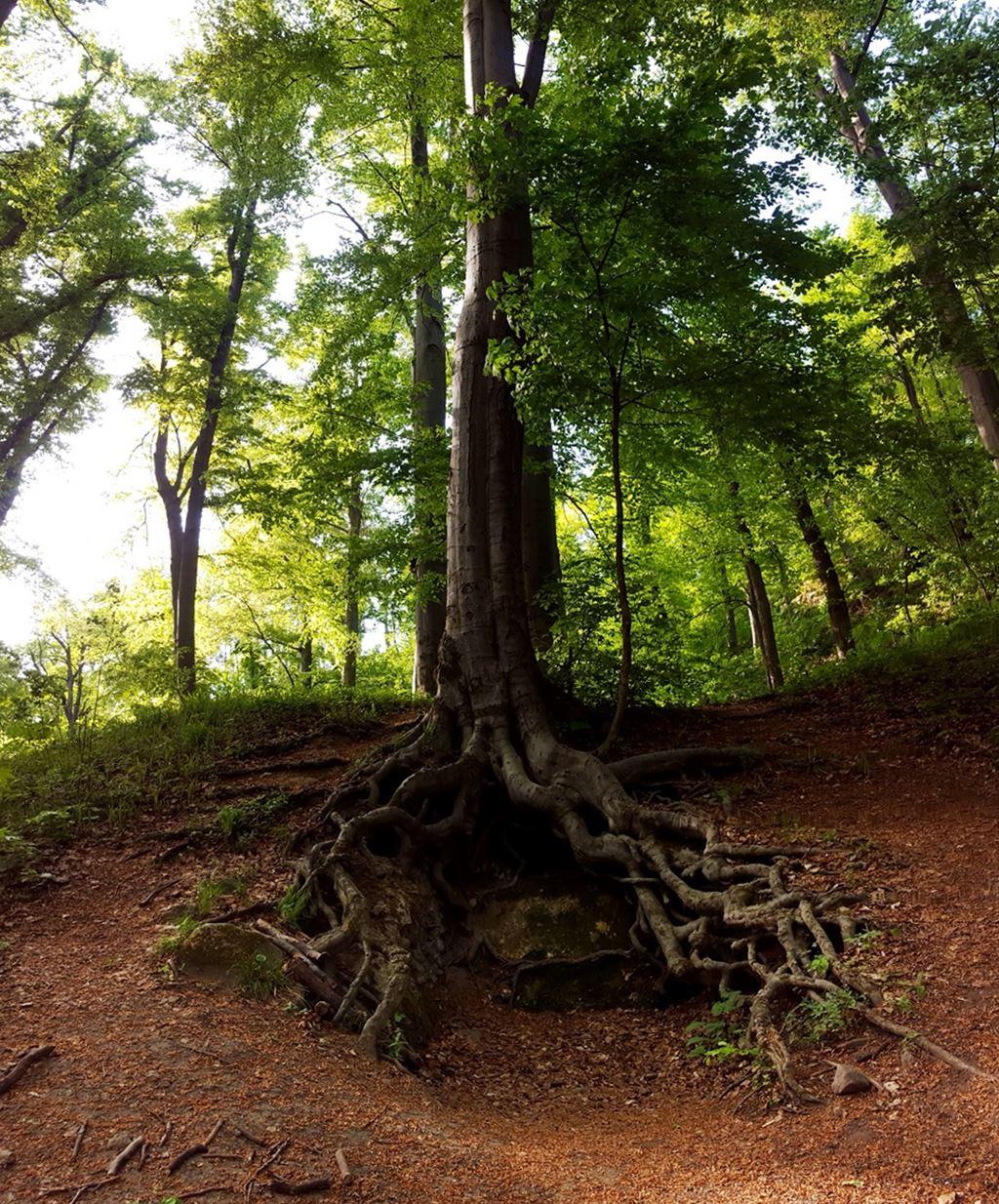 A Zsivány-szikláknál jellegzetes gyökereivel szabadon álló fa Forrás: Mozgásvilág.hu