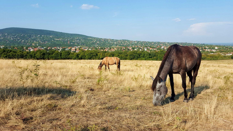 Legelésző lovak a pusztán, délután Forrás: Mozgásvilág.hu