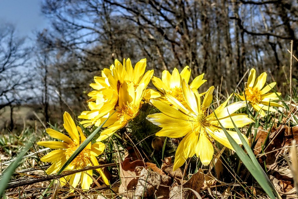 Az első tavaszi virágok már kibújtak a földből Forrás: Nyáry Tamás