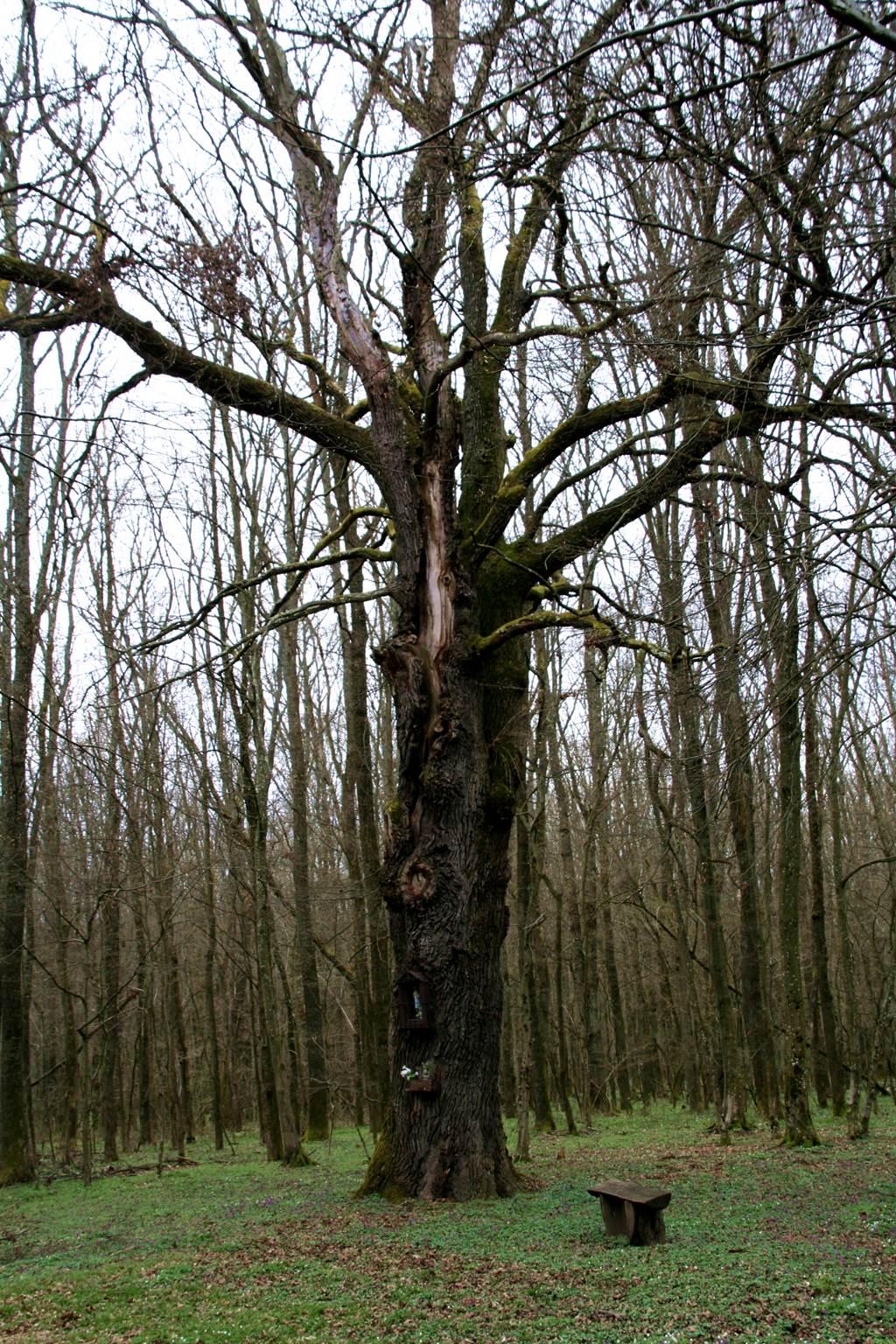 Alighanem ez a legnagyobb tölgy az erdőben Forrás: www.mozgasvilag.hu