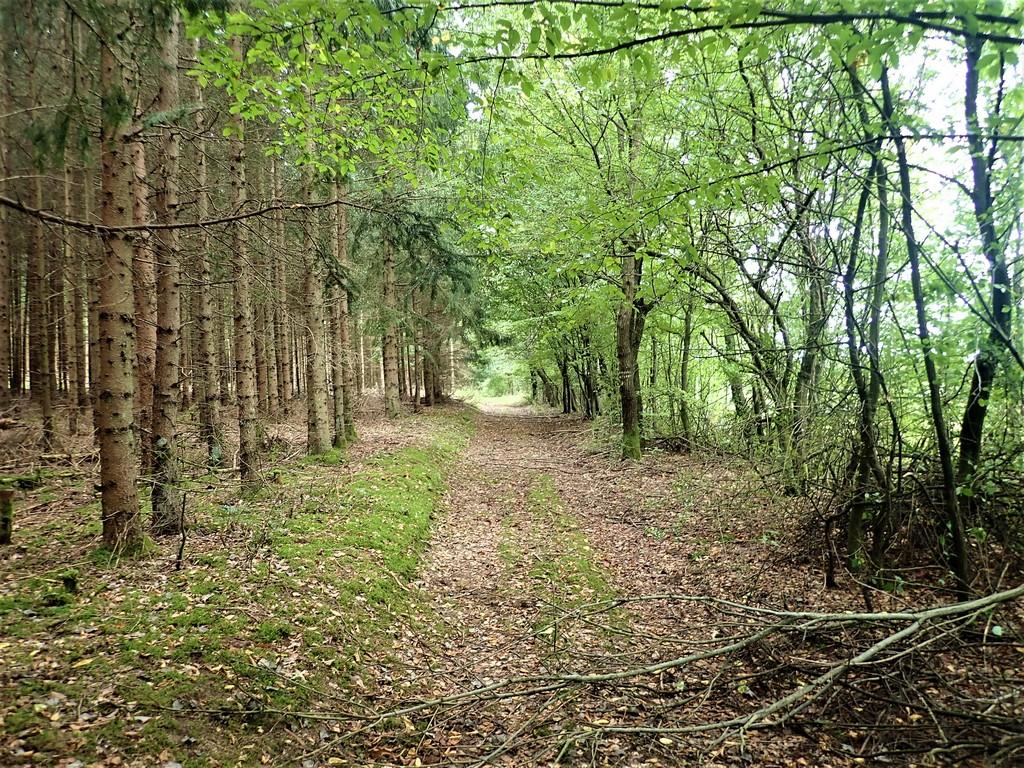 Úton az erdőben az Alsószölnök és Szakonyfalu között húzódó magaslatra Forrás: Nyáry Tamás