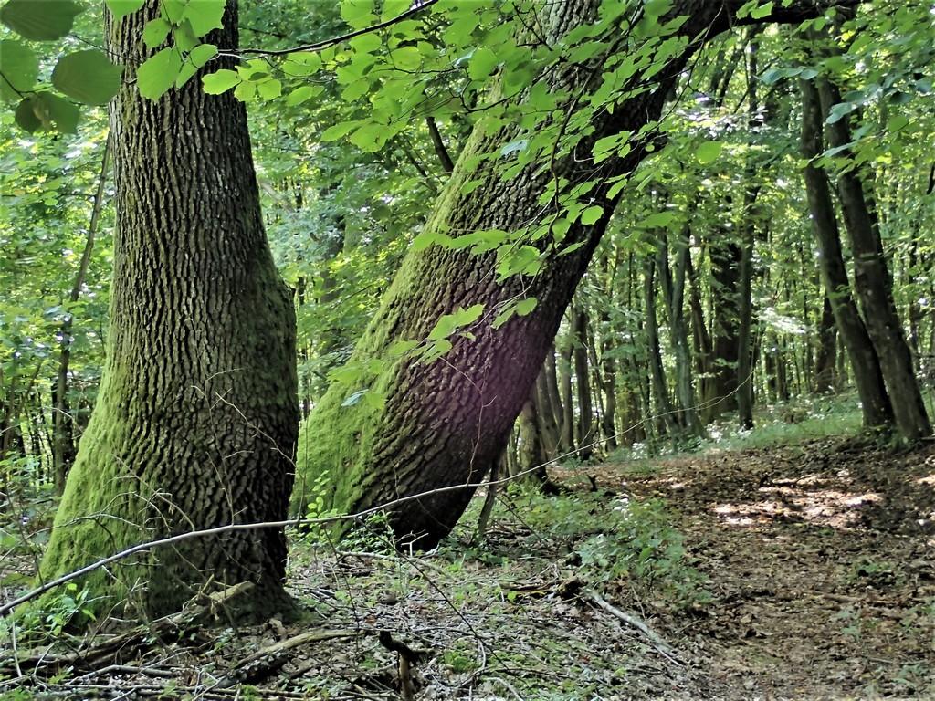 Vadregényes érintetlen erdőn át a határ vonala felé Forrás: Nyáry Tamás