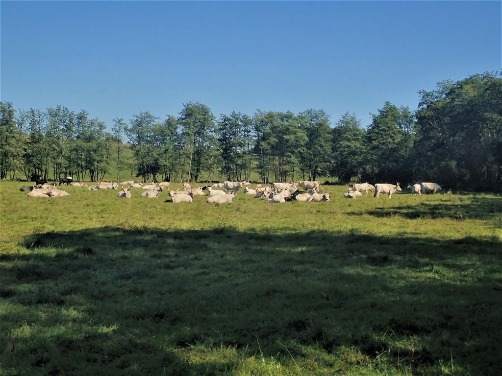 A mező szélén elsétálunk a szürke marhák mellett Forrás: Nyáry Tamás