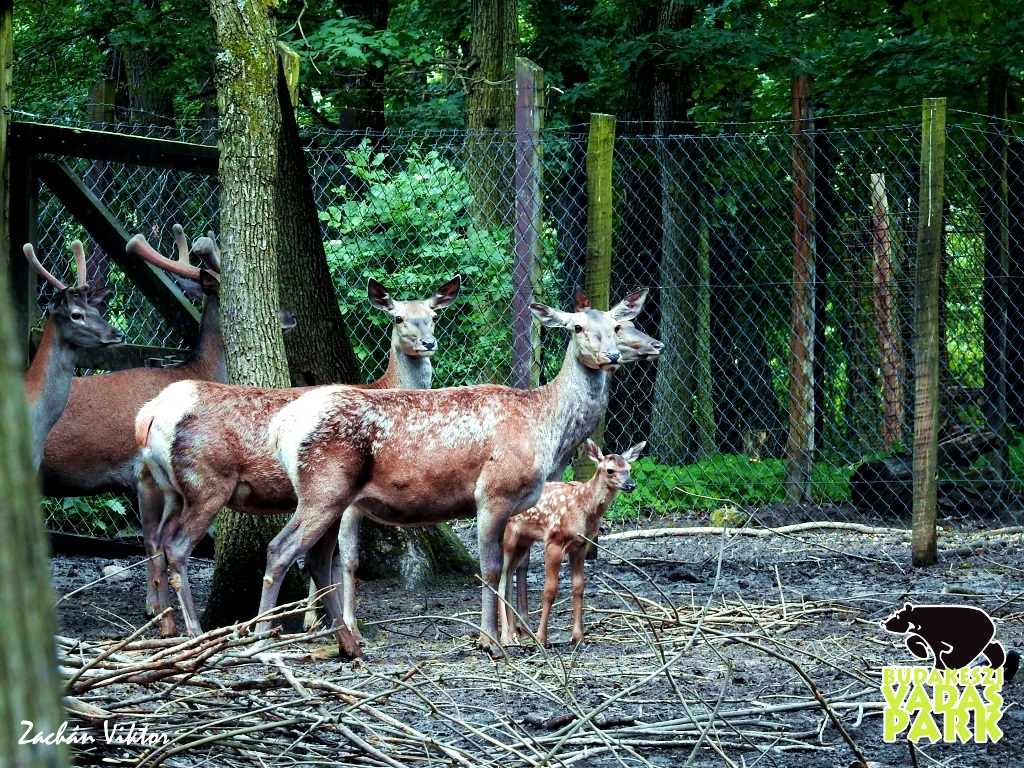 Gímszarvas család a Budakeszi Vadasparkban Forrás: (c) Budakeszi Vadaspark - Zachán Viktor