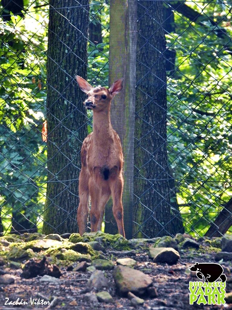 Gímszarvas borjú a Budakeszi Vadasparkban Forrás: (c) Budakeszi Vadaspark - Zachán Viktor