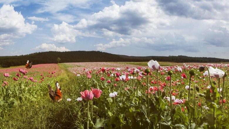 Virágzó mákmezők a Waldviertelben Forrás: © Niederösterreich Werbung, Michael Liebert